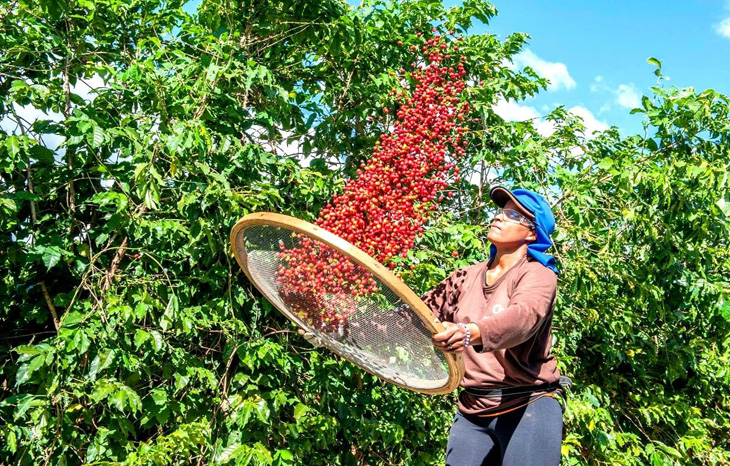 Climate change predicted to halve coffee-growing area that supports 120m people