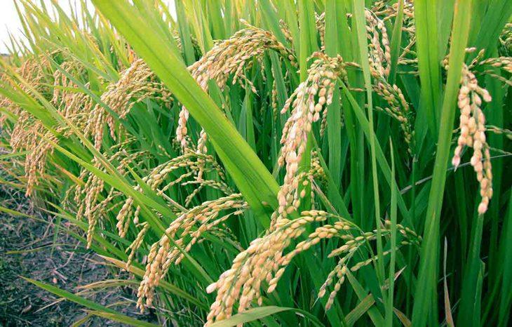 Рис как идеальный материал для строительства экодома